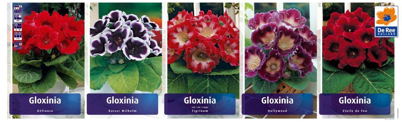 Сорта глоксинии с фото и описанием