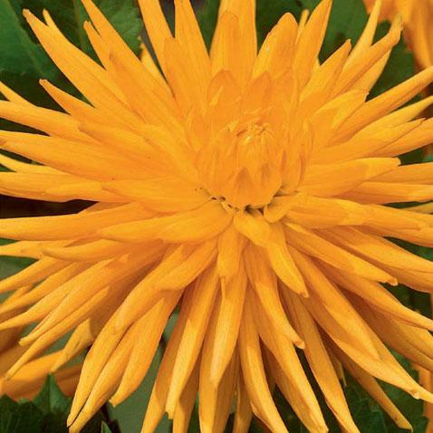 Dahlia-Gold-Crown.jpg