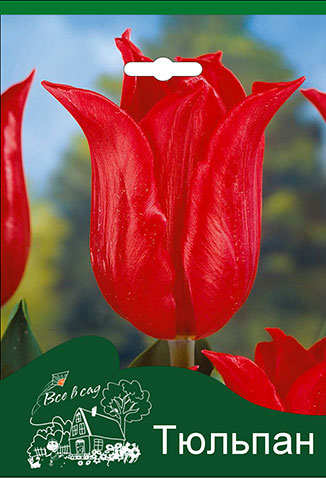 8ebed8085 Tulip-Pretty-Woman.jpg