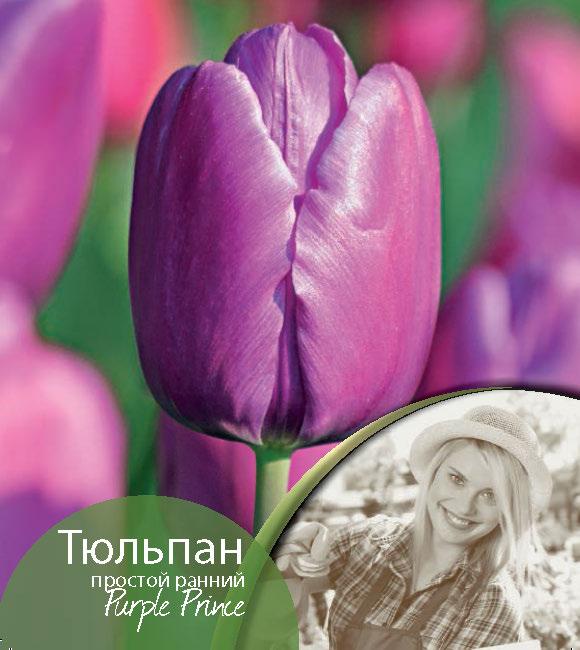 92fc4f5dd Tulipa-Purple-Prince.jpg