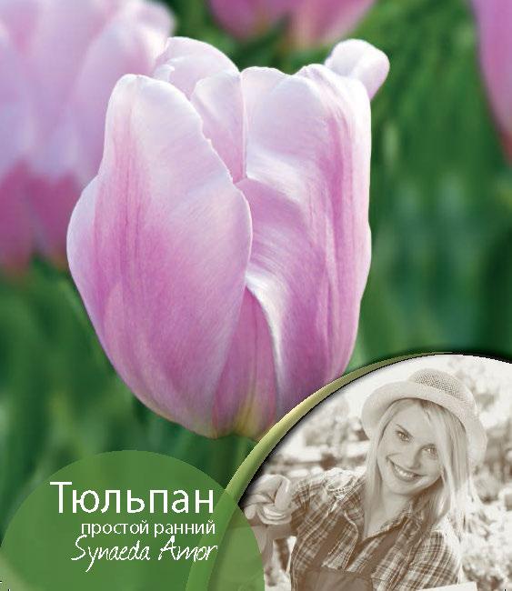 825cf92a1 Tulipa-Synaeda-Amor.jpg