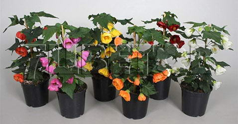 Index Of Catalogindoorplantsfloweringplants