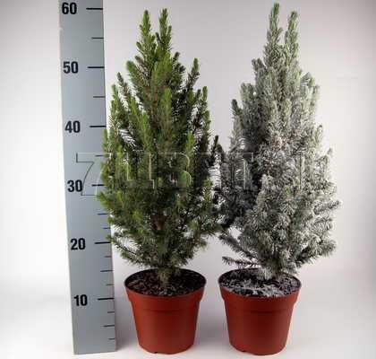 Пихта выращивание и содержание в домашних условиях