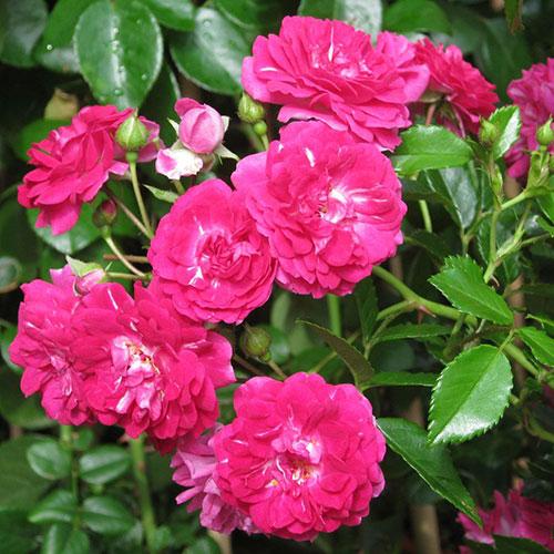 Шоне вом зее энциклопедия роз